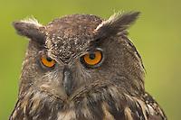 Uhu, Portrait, Federohren, Bubo bubo, Eagle Owl, Hibou grand-duc, Grand-duc d'Europe