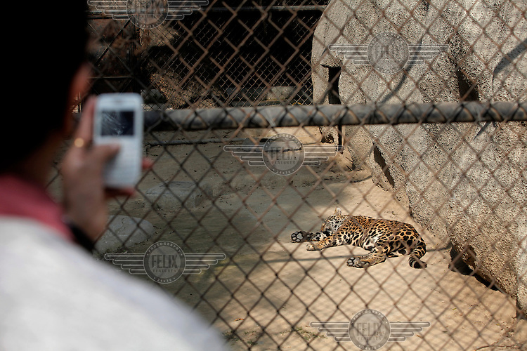 A tourist take a picture of a leopard in Delhi Zoo with a mobile phone.