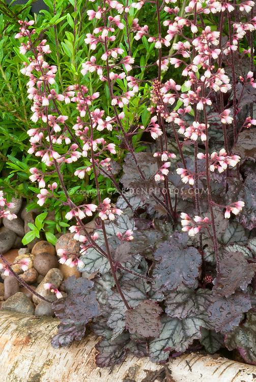 Heuchera 'Jade Gloss' in flower