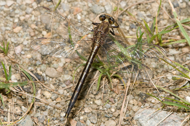 Dusky Clubtail (Gomphus spicatus) Dragonfly - Female, Pharaoh Lake Wilderness Area, Ticonderoga, Essex County, New York