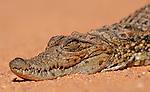 Les profondes ?khor? du lac Nasser abritent les derniers spécimens de crocodiles égyptiens (crocodylus niloticus) atteindre 2 mètres de longueur. .Si aujourd'hui les crocodiles ont disparus en aval du barrage, ils sont de plus en plus nombreux à venir du Soudan s'installer dans les eaux poissonneuses et désertes du lac Nasser..