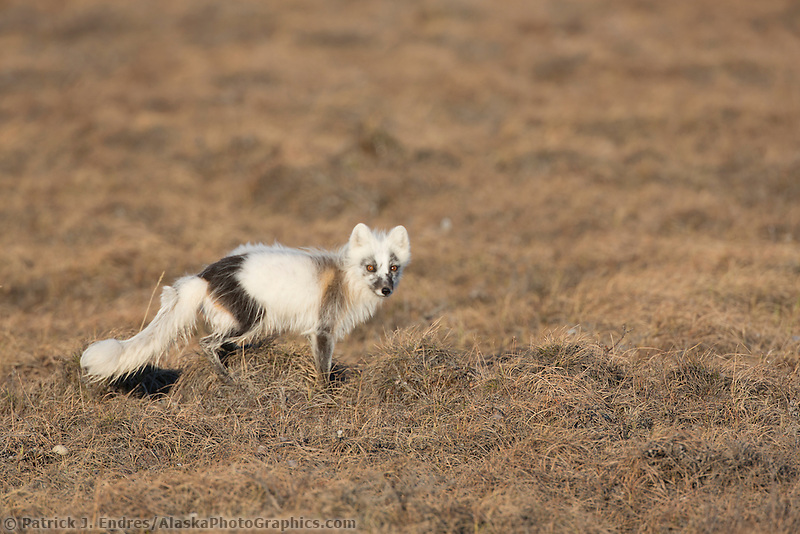 Arctic fox transitioning from the winter white coat to the brown and black summer coat. Arctic coastal plain, Alaska.