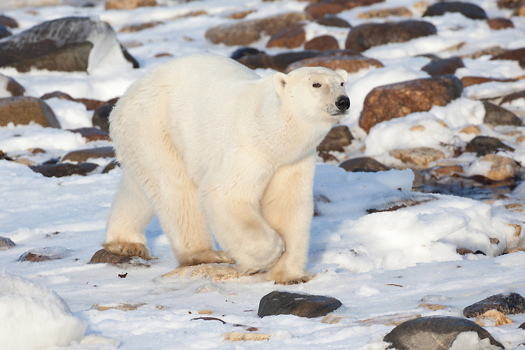 Polar Bear walking on the rocks and snow along Hudson Bay