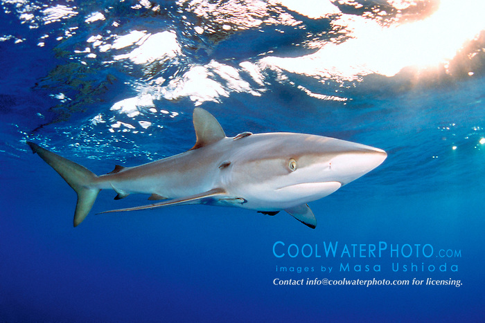 silky shark with remoras, .Carcharhinus falciformis, .Hawaii (Pacific).