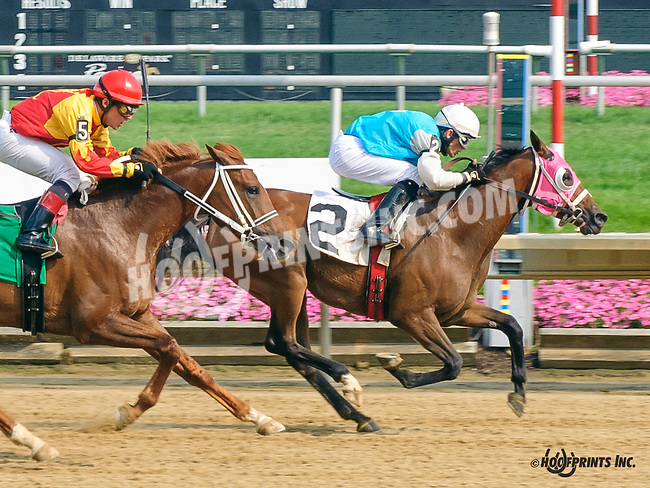 Desert Honour winning at Delaware Park on 7/1/15<br /> Desert Honour (Nivour de Cardonne - Annas Desert Rose)<br /> bred by in Virginia by Cre Run Farm