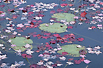Lily pads and maple leaves intermix in autumn in Eagle Lake, Acadia National Park, Maine, USA