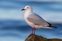 Silver Gull (Chroicocephalus novaehollandiae novaehollandiae), adult in breeding plumage resting off Kangaroo Island, South Australia, Australia.