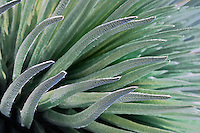 Beautiful closeup photo of the Silversword plant in HALEAKALA NATIONAL PARK on Maui in Hawaii