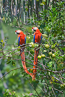 scarlet macaw, Ara macao, pair sitting on lemon tree, Corcovado National Park, Osa Peninsula, Costa Rica, Central America