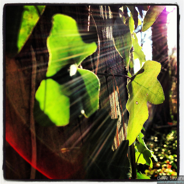 The sun backlights ivy leaves growing on a dead tree in the Wissahickon near Hermit Lane on December 5, 2012.