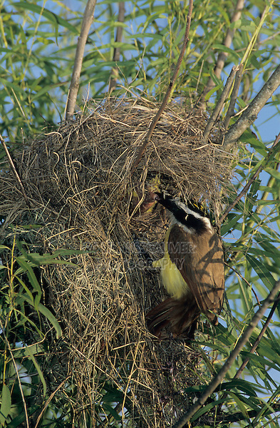 Great Kiskadee, Pitangus sulphuratus, adult on nest in willow tree, Welder Wildlife Refuge, Sinton, Texas, USA, June 2005