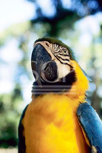 Amazon, Brazil. Blue and gold Macaw; Arara-canindé (Ara ararauna).