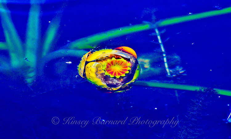 """""""EYE OF THE LILY"""""""