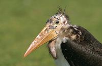 Marabu, Portrait, Leptoptilos crumeniferus, marabou stork