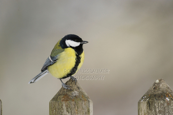 Great Tit (Parus major), male perched on wooden fence, Zug,Switzerland, December 2007