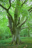 Ancient beech tree in The Wychwood Forest, Leafield, The Cotswolds, Oxfordshire, UK