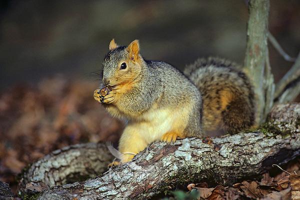 Fox Squirrel (Sciurus niger) feeding on acorn.  Fall.