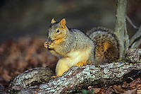 Fox Squirrel (Sciurus niger) feeding on acorn.  Fall.