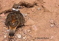 0510-1114  Killdeer, Adult Sitting on Eggs, Charadrius vociferus  © David Kuhn/Dwight Kuhn Photography
