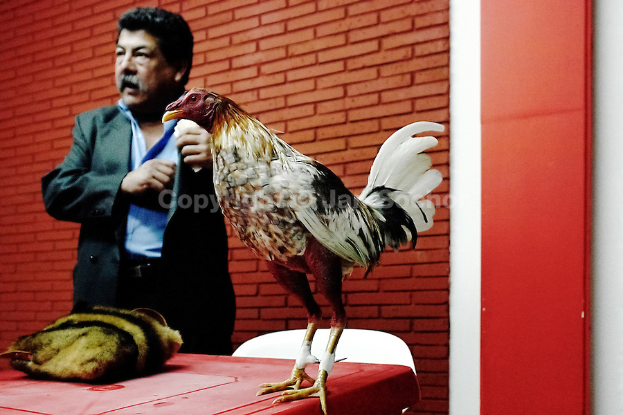 A Colombian breeder of cocks takes bets on his cock before the beginning of the match in the arena of San Miguel, Bogota, Colombia, 7 April 2006. Cockfight is a widely popular and legal sporting event in much of Latin America. The fight is usually held in an arena (gallera) with seats for spectators. There is always gambling involved in cockfights. People take advantage of cock's natural, strong will to fight against all males of the same species. Birds are specially bred to increase their aggression and stamina, they are given the best of food and care. The cocks are equipped with tortoise-shell made gaffs tied to the bird's leg. The fight is not intentionally to the death but it may result in the death of cocks very often because birds never stop fighting till they are dead.