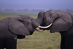 Young African elephants sparring, (Loxodonta africana)