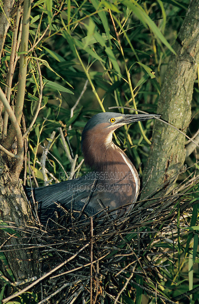 Green Heron, Butorides virescens,adult in nest incubating eggs, Welder Wildlife Refuge, Sinton, Texas, USA, June 2005