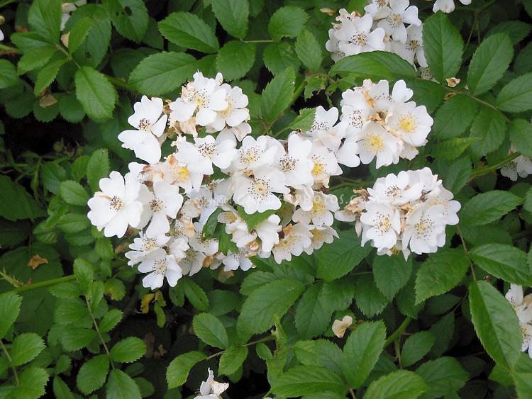 Rosa multiflora, invasive species rose . Rambling roses