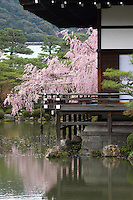 The gardens of the Heian Shrine (Heian Jingu), Kyoto, Japan with the weeping cherries in full bloom