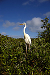 FL: Florida Everglades National Park, bird, great white heron  .Photo Copyright: Lee Foster, lee@fostertravel.com, www.fostertravel.com, (510) 549-2202.Image: flever256