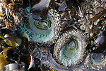 sea anemones in tidepool