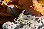 The curly-tailed lizards are a family, Leiocephalidae. This one is on Little Cayman Island.