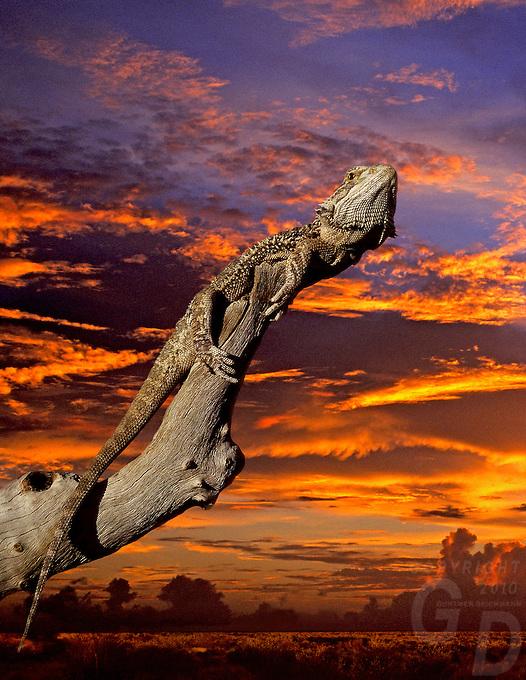 BEARDED DRAGON ON A DEAD TREE
