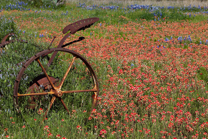 Antique tractor stands amid a field of bluebonnets and indian paintbrush wildflowers