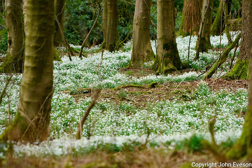 Snowdrops in woodland, Leagram, Chipping, Lancashire.