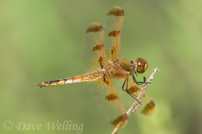 389160004 wild male painted skimmer dragonfly libellula semifasciata perched on twig angelina national forest jasper county texas