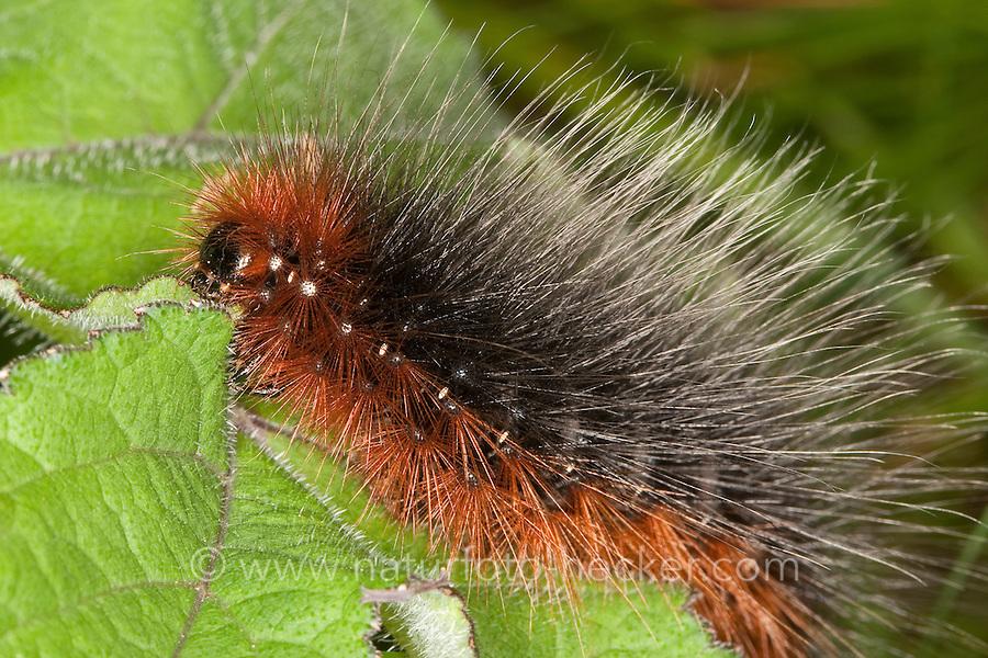 Brauner Bär, Raupe, Bärenspinner, Arctia caja, garden tiger moth