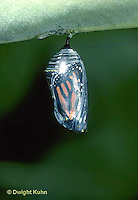 MO04-012z  Monarch Butterfly - developing chrysalis ready for butterfly to hatch - Danaus plexippus