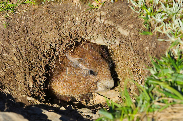 Olympic Marmot (Marmota olympus) looking out of burrow.  Olympic National Park, WA.  Summer
