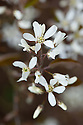 Amelanchier 'Ballerina' in flower, early April.
