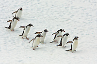 A group of Gentoo Penguins head back to their mates and nests after feeding