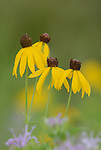 Gray headed coneflower