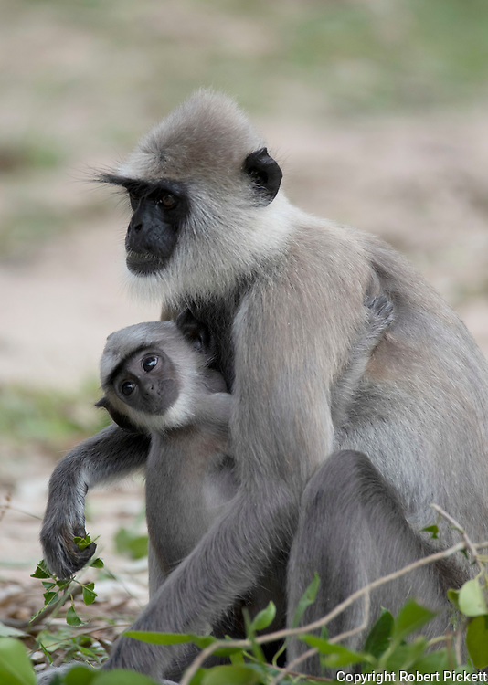 Tufted Gray Langur, Semnopithecus priam, mother with young in arms, Kumana Ramsar Wetland Cluster, Sri Lanka