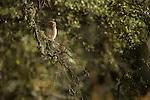 Little Owl (Athene noctua), Sierra de Andujar Natural Park, Sierra de Andujar, Sierra Morena, Andalusia, Spain