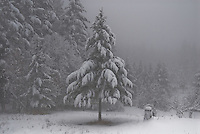 A lone fir tree laden with fresh snow stands tall in the meadow.