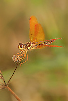 304560004 a wild eastern amberwing dragonfly perithemis tenera perches on a dead flower stalk at hornsby bend travis county texas