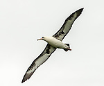 Laysan albatross (Phoebastia immutabilis) in flight over the north shore of Kauai, near Princeville, HI.