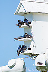 Purple Martins (Progne subis) males and females perched on martin house, Montezuma National Wildlife Refuge, New York, USA