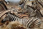 Burchell's zebras, Etosha National Park, Namibia