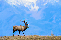 Large Bull Rocky Mountain Elk (Cervus canadensis nelsoni).  Western U.S., fall.