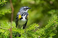 yellow-rumped warbler, Setophaga coronata, male in evergreen, Nova Scotia, Canada